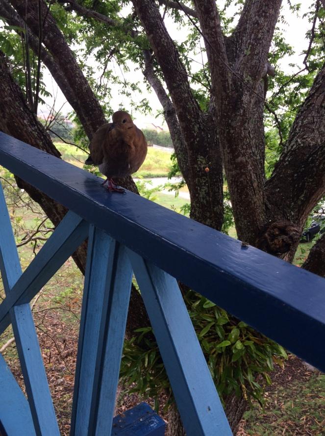 wood dove 2
